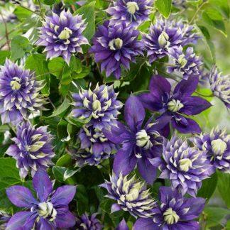 Clematis 'Taiga' – nagyvirágú, késői virágzású klemátisz