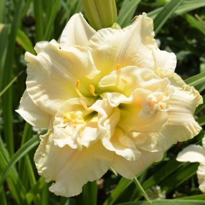 hemerocallis-Schnickel-Fritz-sásliliom daylily