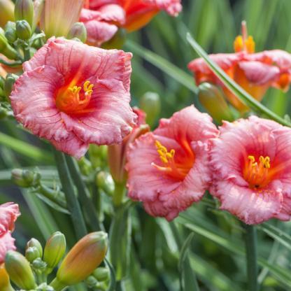 Hemerocallis 'Siloam Grace Stamile' - sásliliom 1 <strong>Hemerocallis 'Siloam Grace Stamile'</strong> - sásliliom kb. 30-35 cm magas. Apró virágai pirosak, a virág közepe felé sötétebb pirosak, zöld torokkal. <em>Kiszerelés: konténer, 9x9 cserép</em>