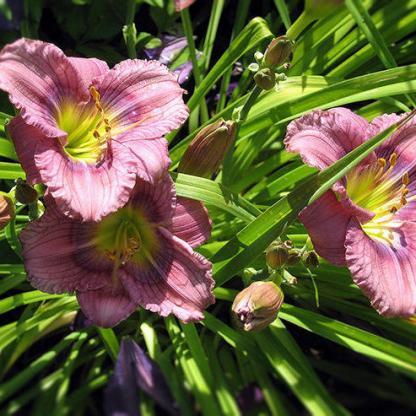 hemerocallis-Siloam-New-Toy-sásliliom daylily