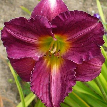 hemerocallis-Siloam-royal-prince-sásliliom daylily
