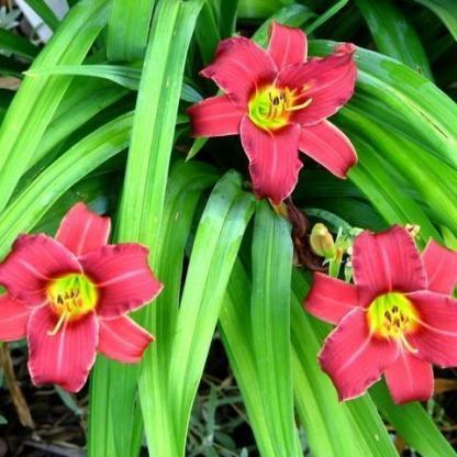 hemerocallis-eenie-fanfare-sásliliom
