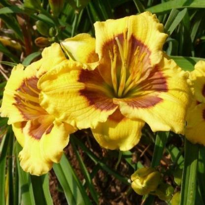 hemerocallis-jason-salter-sásliliom daylily