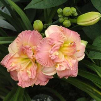 hemerocallis-lacy-doily-sásliliom daylily