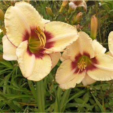 hemerocallis-lyn-hall-sásliliom daylily