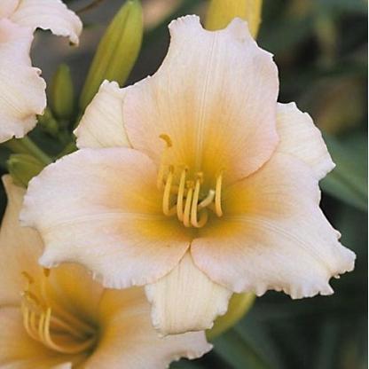 hemerocallis-mini-pearl-sásliliom daylily