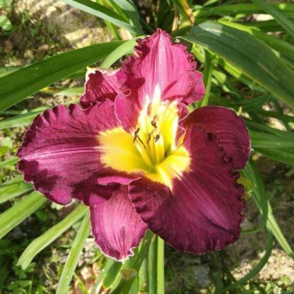 hemerocallis-silent-sentry-sásliliom daylily