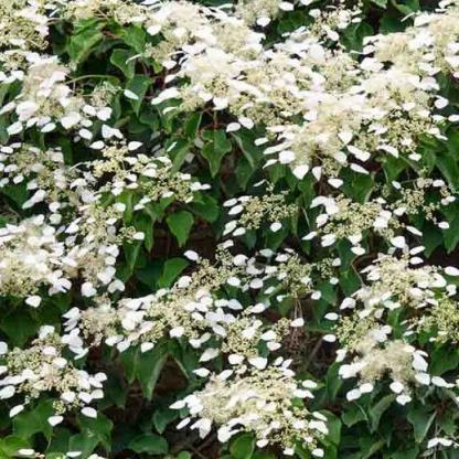 hydrangea-anomala-subsp-petiolaris-kuszo-hortenzia