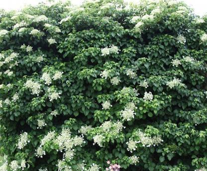 """Hydrangea anomala ssp. petiolaris - kúszó hortenzia 1 <span class=""""st"""">A <strong>Hydrangea anomala subsp. petiolaris - kúszó hortenzia </strong>levelei szinte szív alakúak, sötétzöldek, ősszel sárgás árnyalatúak. Mutatós, csipkés, fehér virágait júniusban hozza.</span> <em>Kiszerelés: konténer, 2 l, 60-90 cm</em>"""
