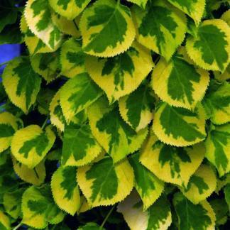 hydrangea-anomala-subsp-petiolaris-mirranda-kuszo-hortenzia