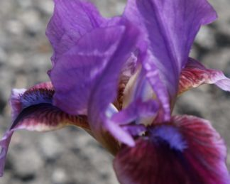 iris-barbata-nana-beauty-mark-nőszirom