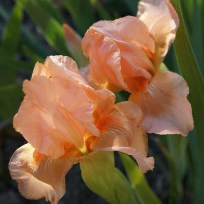 iris-barbata-nana-bright-vision-nőszirom