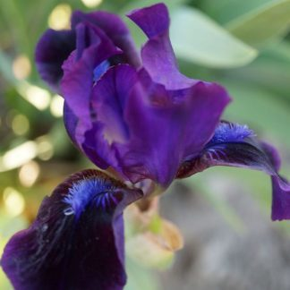 iris-barbata-nana-dark-crystal-nőszirom