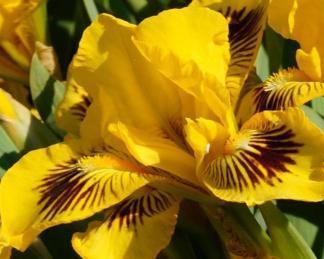 iris-barbata-nana-eyebright-nőszirom
