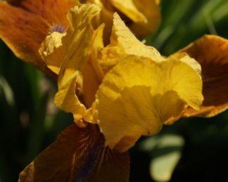 iris-barbata-nana-gypsy-boy-nőszirom