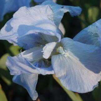 iris-barbata-nana-open-sky-nőszirom