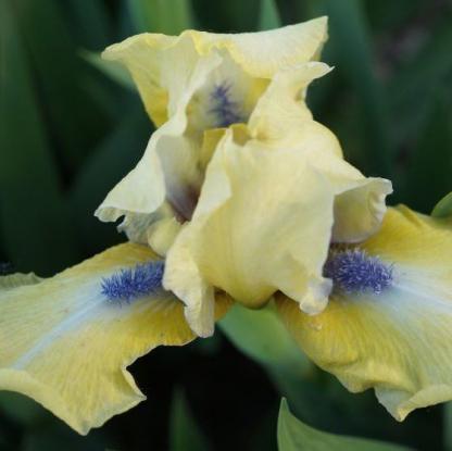 iris-barbata-nana-sarah-taylor-nőszirom
