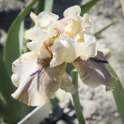 Iris Barbata Elatior 'Thornbird' - magas szakállas nőszirom