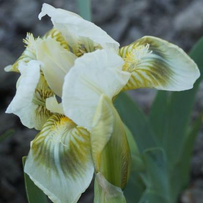 iris-pumila-green-spot-apro-nőszirom