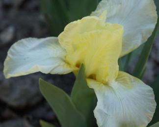 iris-pumila-lemon-puff-apro-nőszirom