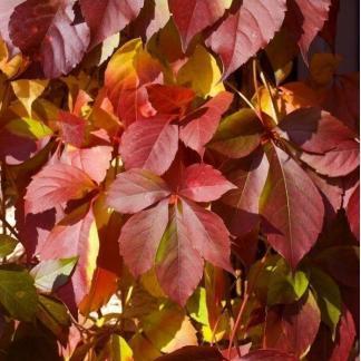 parthenocissus-quinquefolia-redwall-troki-vadszolo