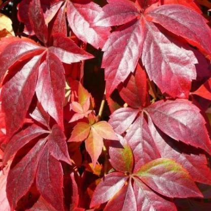parthenocissus-quinquefolia-var-murorum-vadszolo