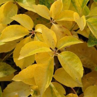 parthenocissus-quinquefolia-yellow-wall-vadszolo