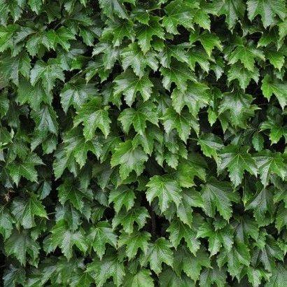 parthenocissus-tricuspidata-diamond-mountains-repkény-vadszőlő