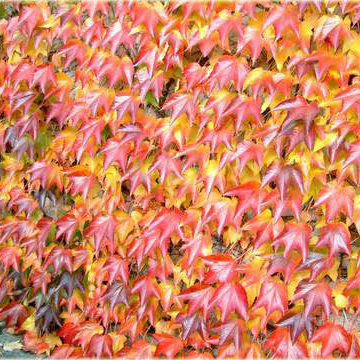 parthenocissus-tricuspidata-diamond-mountains-repkeny-vadszolo