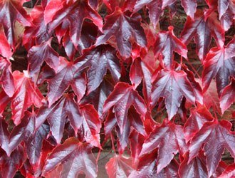 """Parthenocissus tricuspidata 'Veitchii' - repkény vadszőlő 1 <span class=""""st"""">A<strong>Parthenocissus tricuspidata 'Veitchii' - repkény vadszőlő </strong>levelei nyáron sötétzöldek, kb. 15 cm nagyságúak, durván fogazottak, háromkaréjosak, ősszel kármin-piros színűvé változnak. Díjnyertes növény.</span> <em>Kiszerelés: konténer, 3 literes, 60/80 cm </em>"""