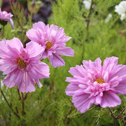 fizzy pink pillangóvirág