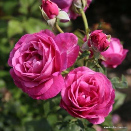 Carmen Wuerth rózsaszín teahibrid rózsa