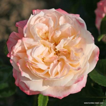 Concorde teahibrid rózsa