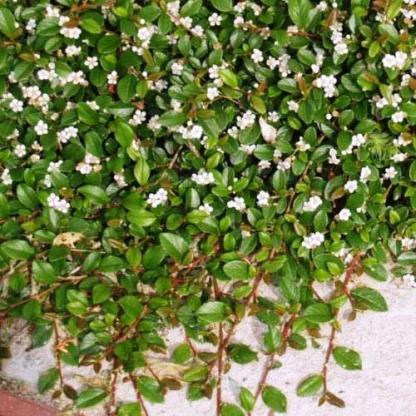 Cotoneaster-dammeri-skogholm-sved-madarbirs
