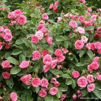 F. J. Grootendorst történelmi rózsa