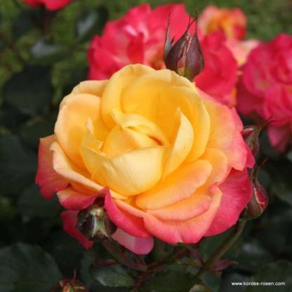 Flaming Star teahibrid rózsa kétszínű virággal