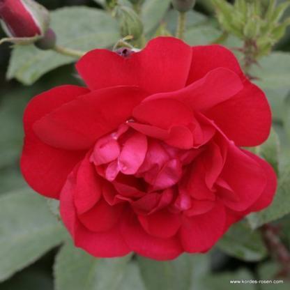 Hansaland történelmi rózsa