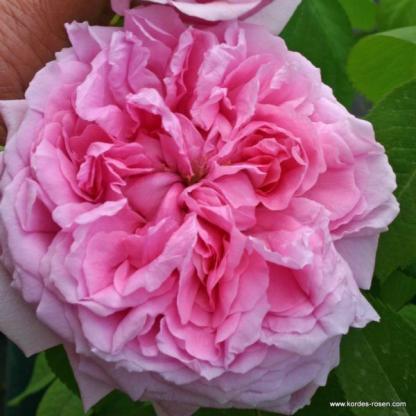 Madame Boll rózsaszín történelmi bokorrózsa