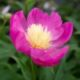 Paeonia-lactiflora-Bowl-of-Love
