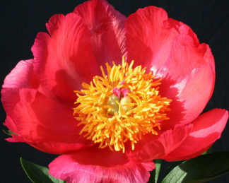 Paeonia lactiflora 'Flame' lágyszárú bazsarózsa