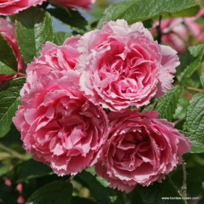 Pink Grootendorst rózsaszín történelmi rózsa