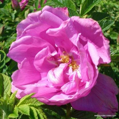 Roadrunner rózsaszín bokorrózsa
