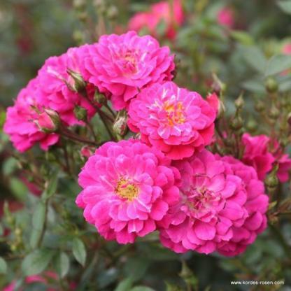 Purple_Rain talajtakaró rózsa