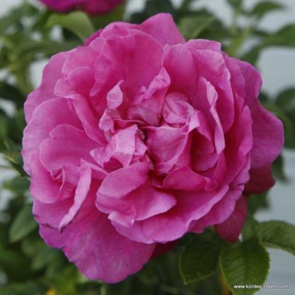 Purple Roadrunner lila bokorrózsa