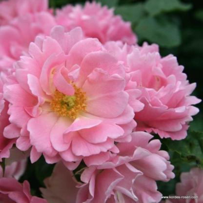 Sommerwind rózsaszín rózsa