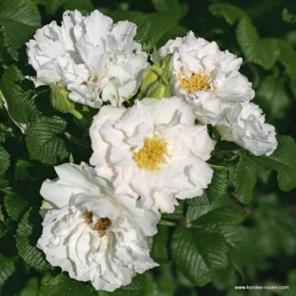 White Roadrunner fehér rózsa