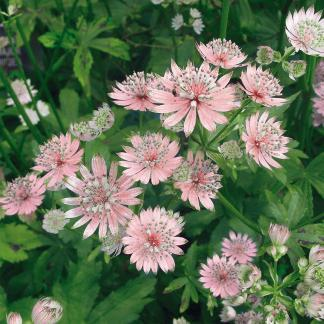astrantia-major-rosea-volgycsillag