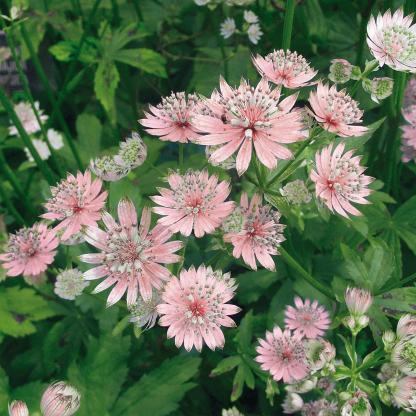 astrantia-major-rosea-volgycsillag