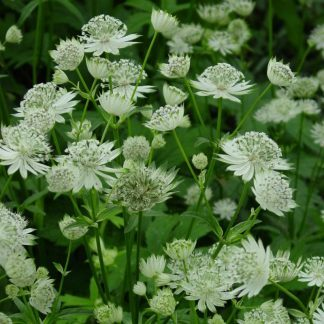 astrantia-major-völgycsillag
