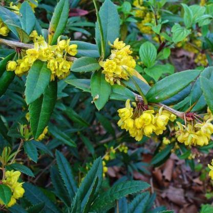 berberis-julianae-borbolya